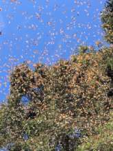 Overwintering monarchs on February 6, 2019