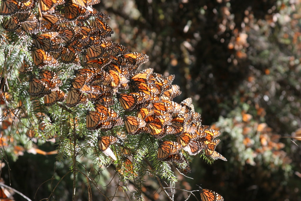 Community Conservation of Monarch Forest in Mexico