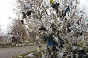 Plastic bag in a thorn tree