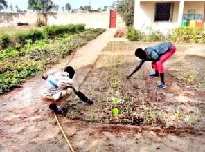 Samba weeding lettuce plantation, AJE Saint Louis
