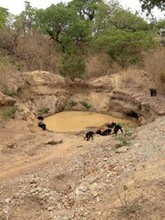 Chimps drink at a mining excavation.