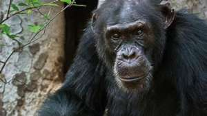 Former Fongoli alpha male David (pic courtesy BBC)