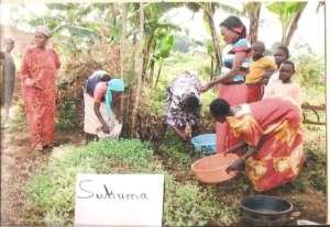 Harvesting sukumawiki - nutritious greens