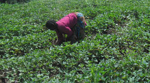 Woman tending her sweet potato garden