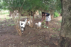 Goat raising project.