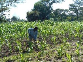 Maize (corn) garden