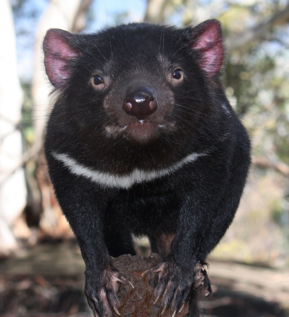 Help Save the Tasmanian Devil