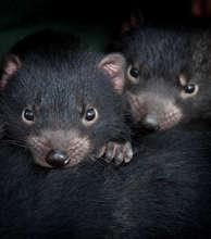 Help Save the Tasmanian Devil