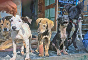DAR rescue pups