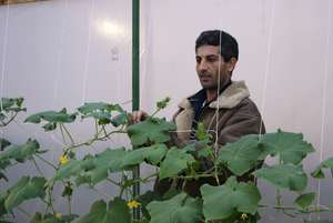 Yasser adding ropes to support the plants
