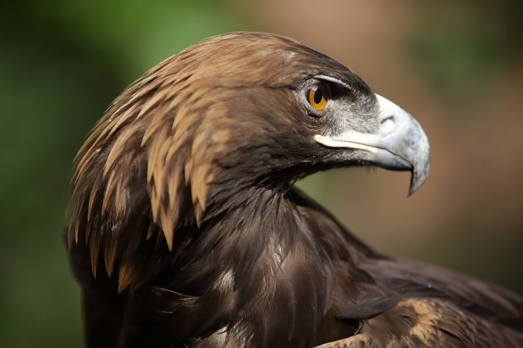 Save the Golden Eagle and Protect its Habitat!