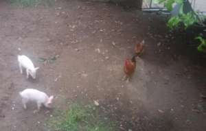 Our pigs and chickens