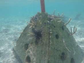 Pyramid coral nursery 2, also protects coastline