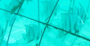 newly settled fish in la caleta coral nursery