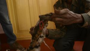 Seized Tiger skin