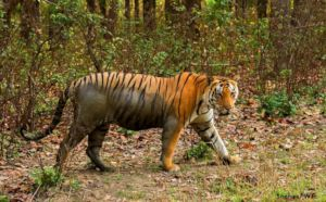 Tiger citing at Kanha Tiger Reserve (MP)