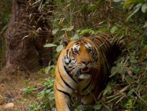 Tiger Close-up at Kanha Tiger Reserve(MP)