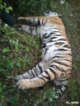 Tiger electrocuted to death in Central India
