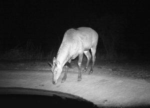 A Bluebull exploring the waterhole