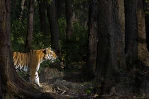 Tigress in Sal Forest