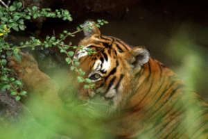Tiger in Bandipur, Southern India
