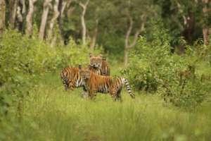 Tiger in Bandipur Tiger Reserve