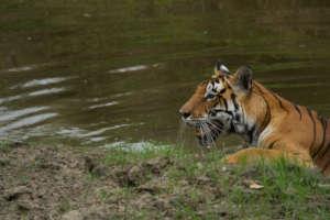 Tigress from Kanha National Park