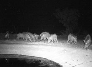 Group of Wildpigs