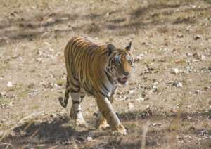 Photograph of a tiger from landscape