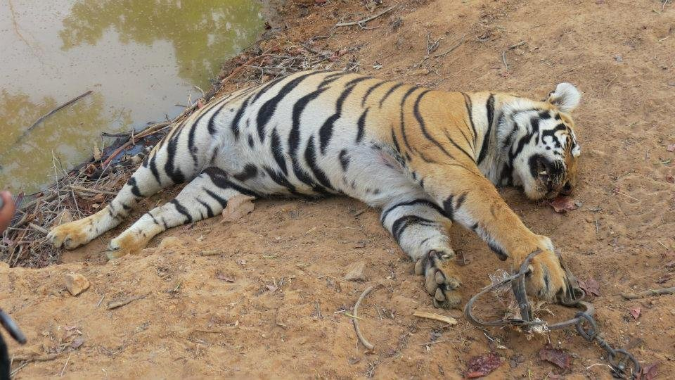 Vanishing Stripes: Save the Bengal Tiger