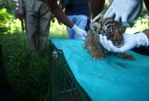 Tiger cub rescued!