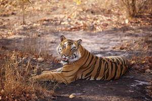 Tiger in Kanha National Park. Pic: Jhampan