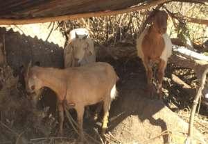 Elaine's Goats
