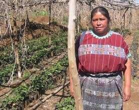 Organic Coffee Plants