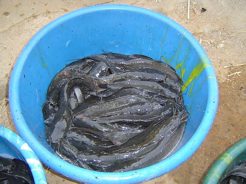Create 15 Jobs and save lives Fish-farming