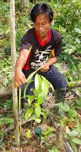 Bora man measuring rosewood seedling