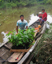 Carrying rosewood seedlings in canoe to field