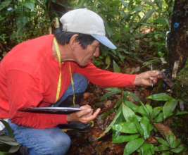 Italo monitoring resin lumps on copal tree