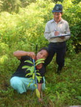 Measuring rosewood seedling height at Brillo Nuevo