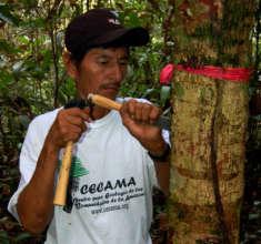 Manual harvest of copal resin in Jenaro Herrera