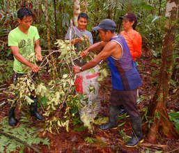 Oscar and Bora team collecting rosewood leaves