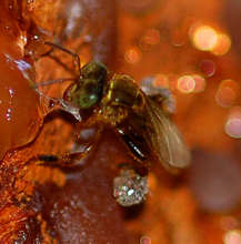 Stingless bee collecting copal resin