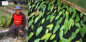 Rosewood tree seedlings bound for Brillo Nuevo