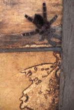 Tarantula and termite tunnels on CACE house wall