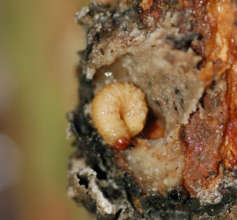 Weevil larva in copal resin lump