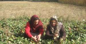 GPFA staff members inspecting a strawberry garden