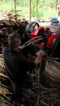 Feeding raw sugar cane into the machines