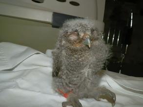 Infant Eastern Screech Owl