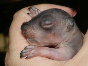Baby Gray Squirrel