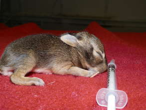 Infant Eastern Cottontail